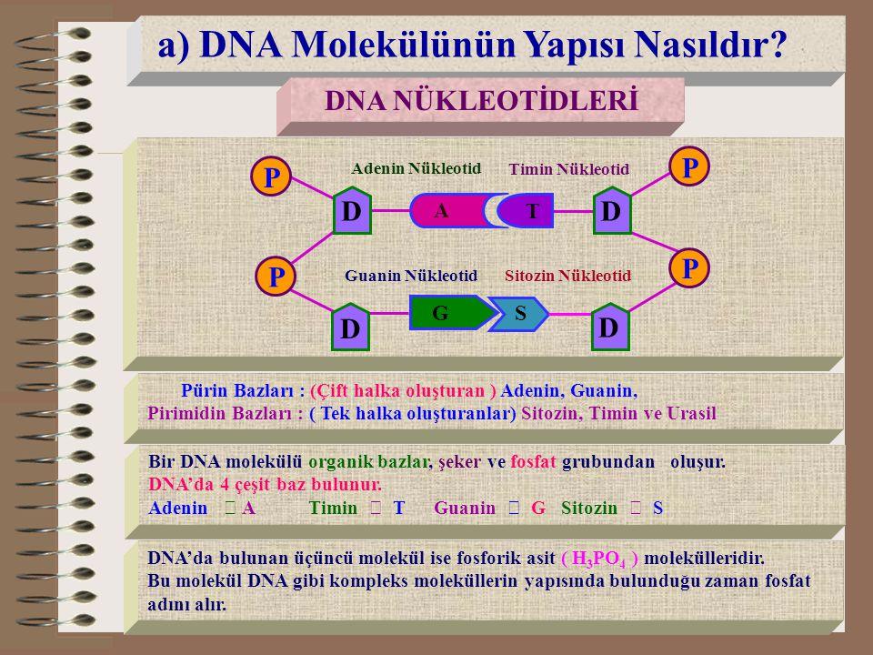 a) DNA Molekülünün Yapısı Nasıldır? DNA NÜKLEOTİDLERİ A G S Adenin Nükleotid Timin Nükleotid Guanin NükleotidSitozin Nükleotid T P P P P D D D D Pürin