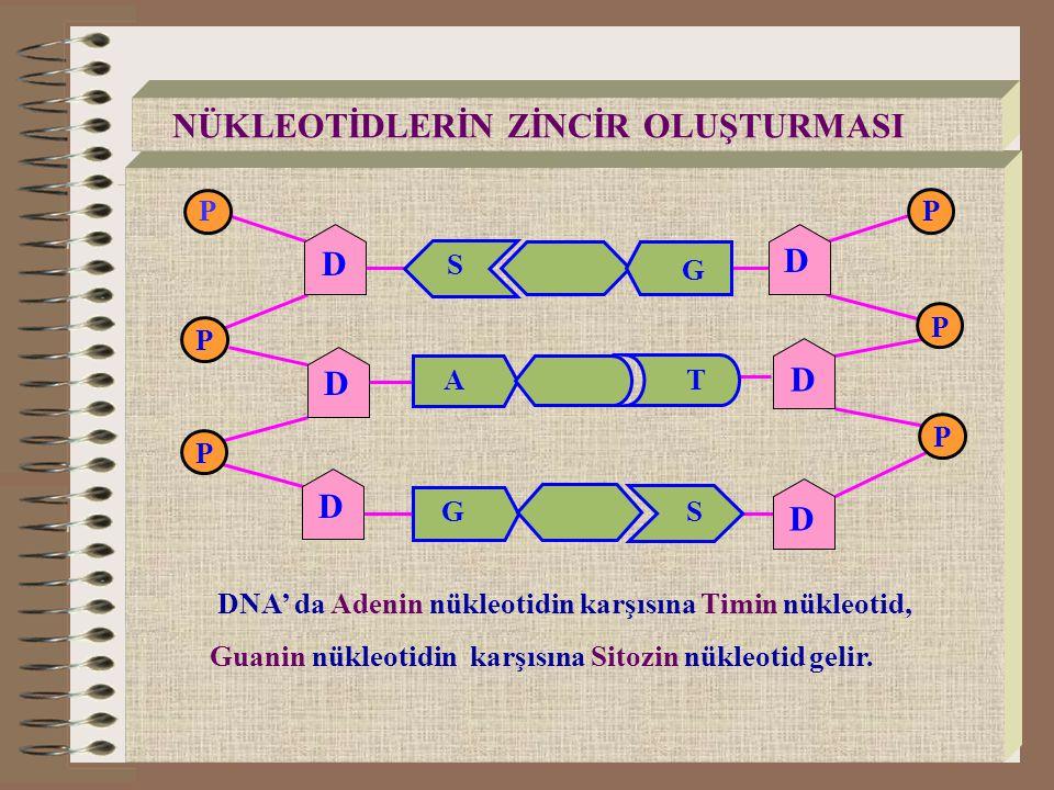 DNA' da Adenin nükleotidin karşısına Timin nükleotid, Guanin nükleotidin karşısına Sitozin nükleotid gelir. NÜKLEOTİDLERİN ZİNCİR OLUŞTURMASI AT S G G