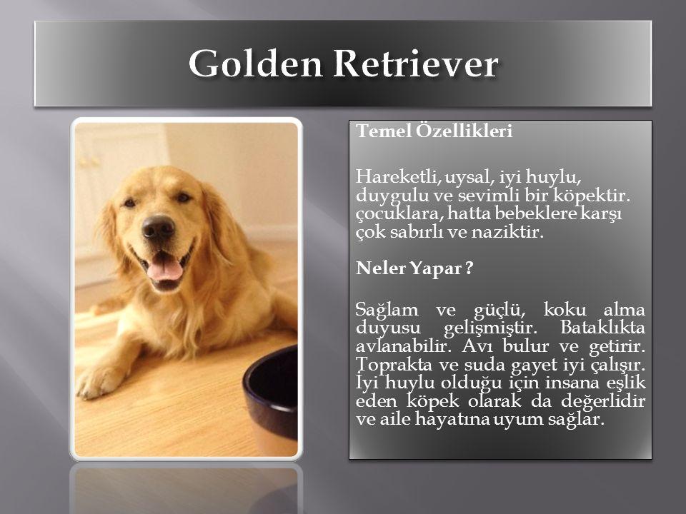 Temel Özellikleri Hareketli, uysal, iyi huylu, duygulu ve sevimli bir köpektir. çocuklara, hatta bebeklere karşı çok sabırlı ve naziktir. Neler Yapar