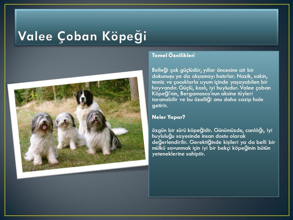 Temel Özellikleri Alman çoban Köpeği, Alsatian diye de tanınır.