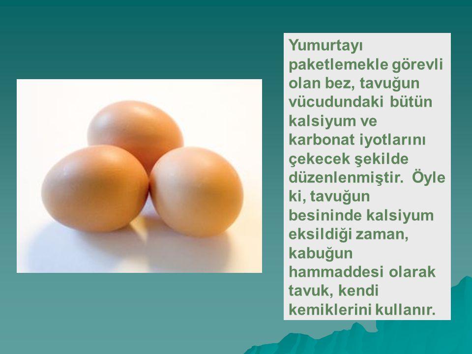 Yumurtayı paketlemekle görevli olan bez, tavuğun vücudundaki bütün kalsiyum ve karbonat iyotlarını çekecek şekilde düzenlenmiştir.