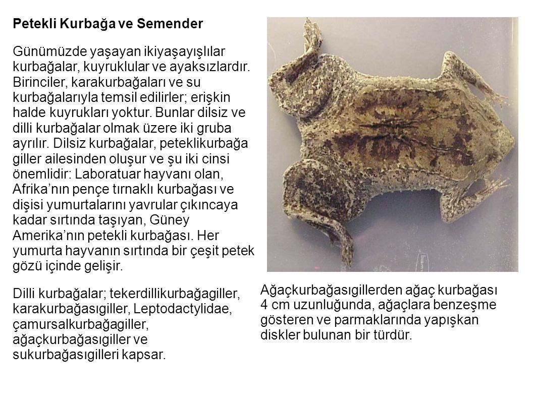 Petekli Kurbağa ve Semender Günümüzde yaşayan ikiyaşayışlılar kurbağalar, kuyruklular ve ayaksızlardır. Birinciler, karakurbağaları ve su kurbağalarıy
