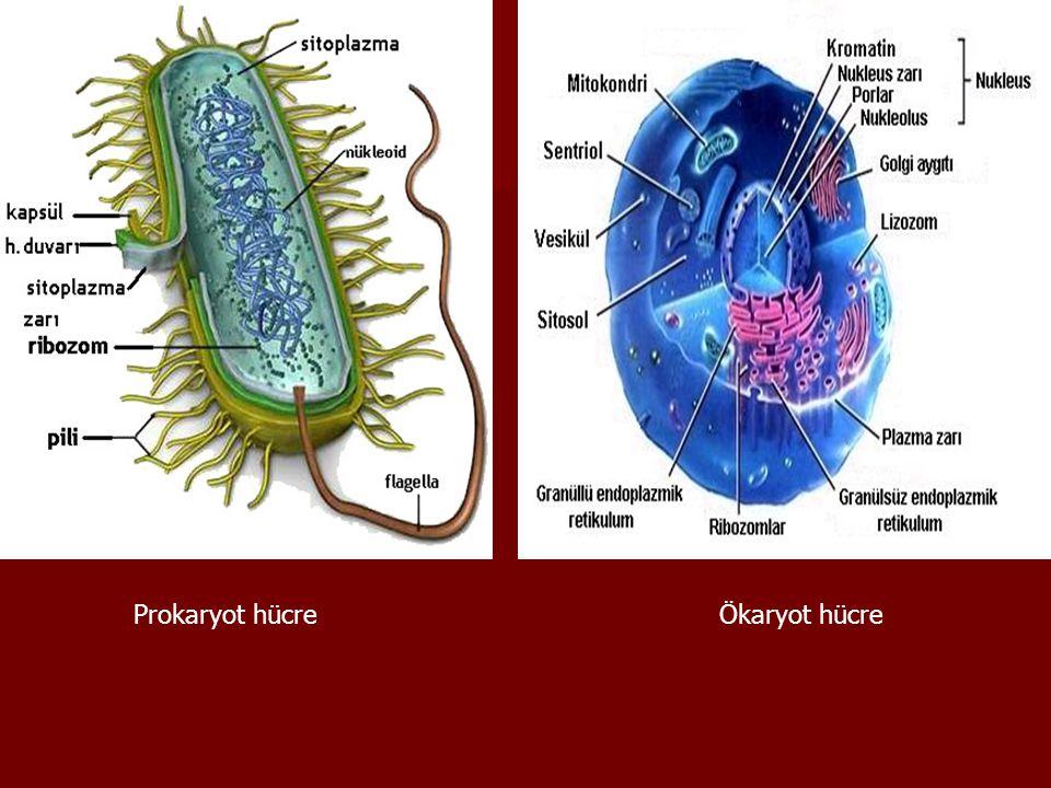 7-Lizozom: 7-Lizozom:  Genellikle hayvan hücrelerinde bulunur, bitki hücrelerinde bulunmaz.