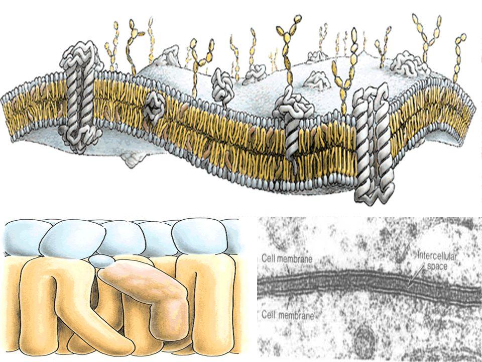 HÜCRENİN BÖLÜMLERİ: Hücre genelde 3 kısımda incelenir. 1) Hücre zarı 2) Sitoplazma 3) Çekirdek Hücre zarı: Singer-Nicholson adlı iki bilim adamı taraf