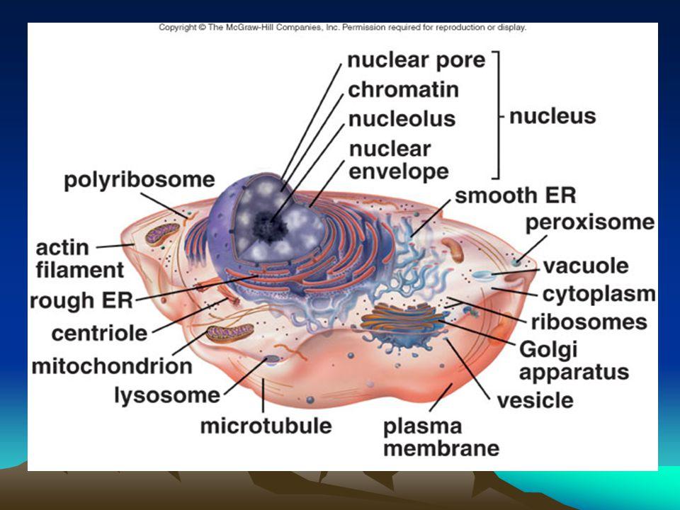 Sitoplazma Hücre zarı ile çekirdek arasını dolduran canlı sıvıdır.