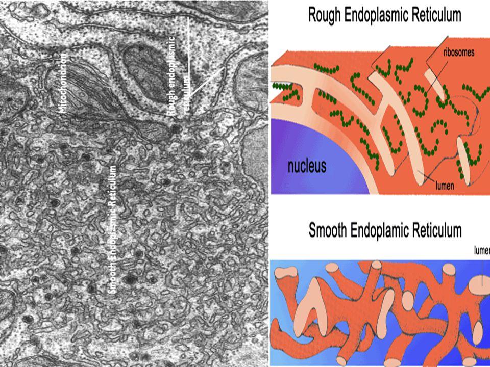 Endoplazmik Retikulum Çekirdek zarı ile sitoplazma ya da hücre zarı arasında uzanan iletimle görevli kanal ve borucuklar sistemidir.