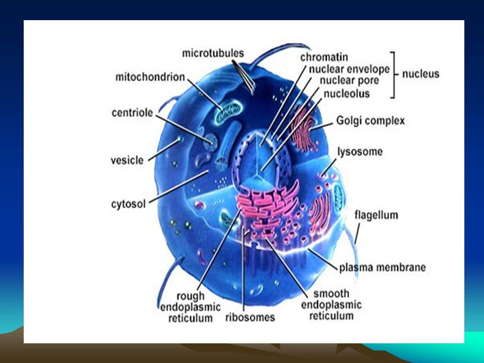 Hücre teorisi: 1.Bütün canlılar bir veya birçok hücreden meydana gelmiştir.