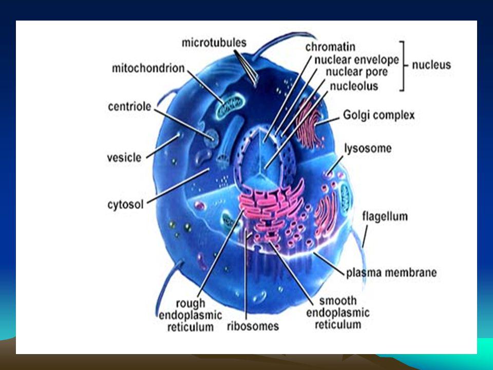 Sentrozom Bu organel sadece hayvan hücrelerinde bulunur ve bölünme esnasında kromozomların kutuplara taşınması görevini üstlenmiştir. Bazı su yosunu,m