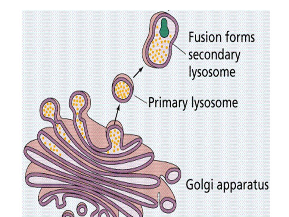 Lizozom Tek katlı zarla çevrili içerisinde sindirim enzimleri bulunduran organeldir. Büyük moleküllü besinleri parçalar.Kurbağa larvalarında kuyruğun
