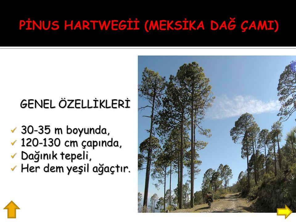 GENEL ÖZELLİKLERİ 30-35 m boyunda, 30-35 m boyunda, 120-130 cm çapında, 120-130 cm çapında, Dağınık tepeli, Dağınık tepeli, Her dem yeşil ağaçtır.