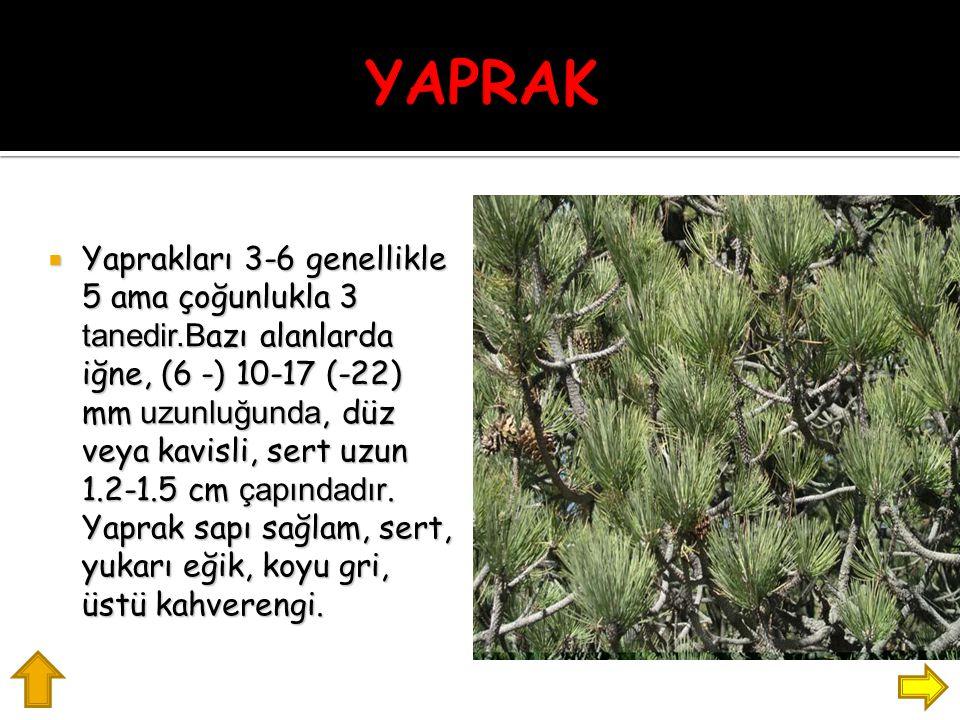  Yaprakları 3-6 genellikle 5 ama çoğunlukla 3 tanedir.B azı alanlarda iğne, (6 -) 10-17 (-22) mm uzunluğunda, düz veya kavisli, sert uzun 1.2-1.5 cm çapındadır.