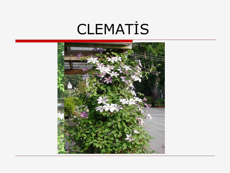  Ranunculaceae familyasındandır.  3 m.den 10 m.ye kadar uzar.  Otsu yapıdadır.