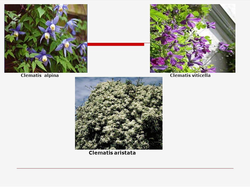 Clematis alpina Clematis viticella Clematis aristata