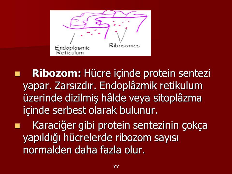 Y.Y Ribozom: Hücre içinde protein sentezi yapar. Zarsızdır. Endoplâzmik retikulum üzerinde dizilmiş hâlde veya sitoplâzma içinde serbest olarak bulunu