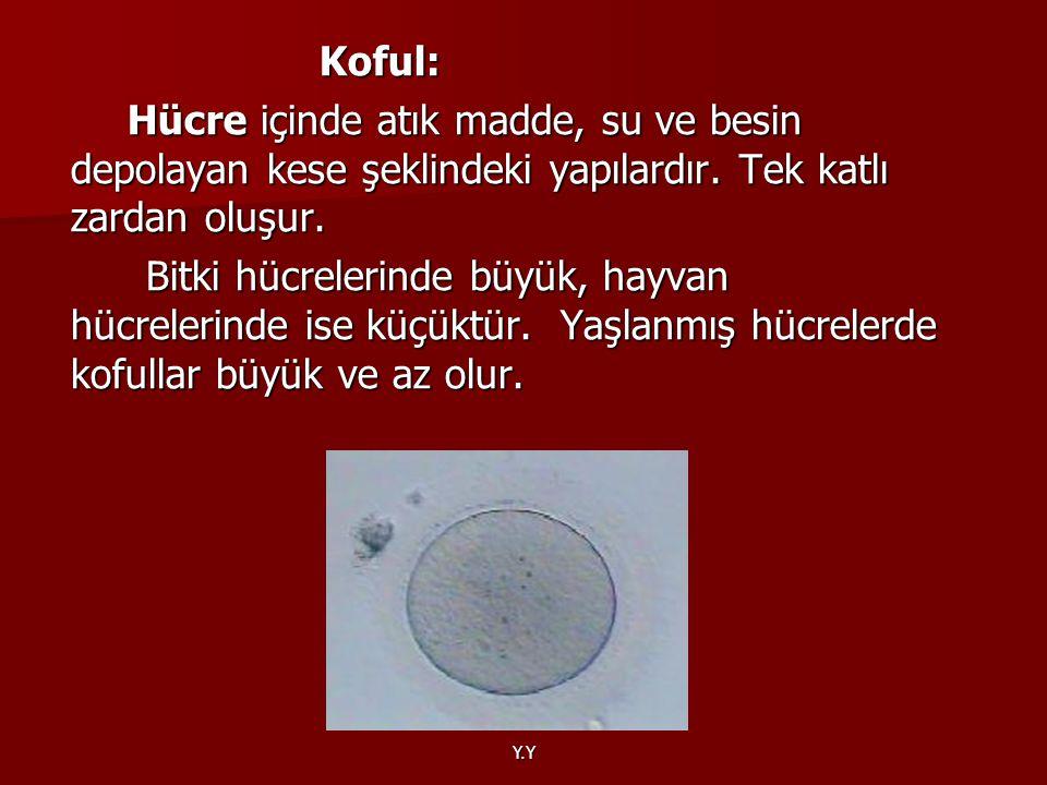 Y.Y Koful: Koful: Hücre içinde atık madde, su ve besin depolayan kese şeklindeki yapılardır. Tek katlı zardan oluşur. Hücre içinde atık madde, su ve b