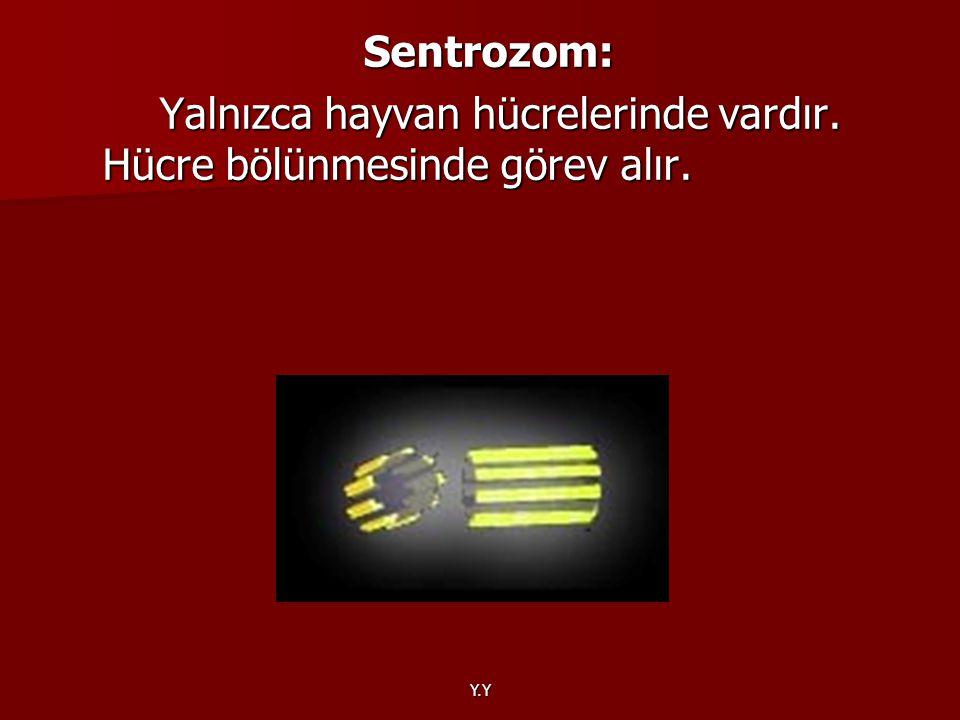 Y.Y Sentrozom: Yalnızca hayvan hücrelerinde vardır. Hücre bölünmesinde görev alır. Yalnızca hayvan hücrelerinde vardır. Hücre bölünmesinde görev alır.