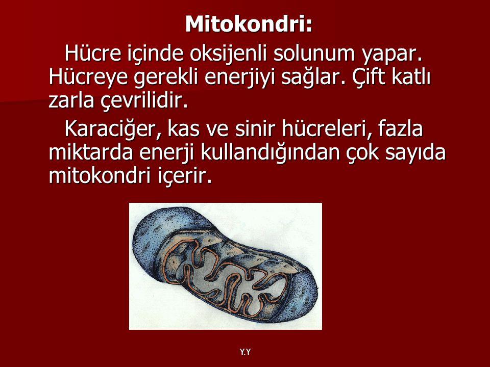 Y.Y Mitokondri: Mitokondri: Hücre içinde oksijenli solunum yapar. Hücreye gerekli enerjiyi sağlar. Çift katlı zarla çevrilidir. Hücre içinde oksijenli