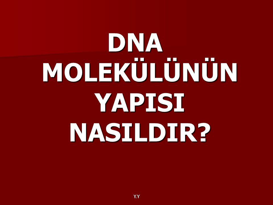 Y.Y DNA MOLEKÜLÜNÜN YAPISI NASILDIR?