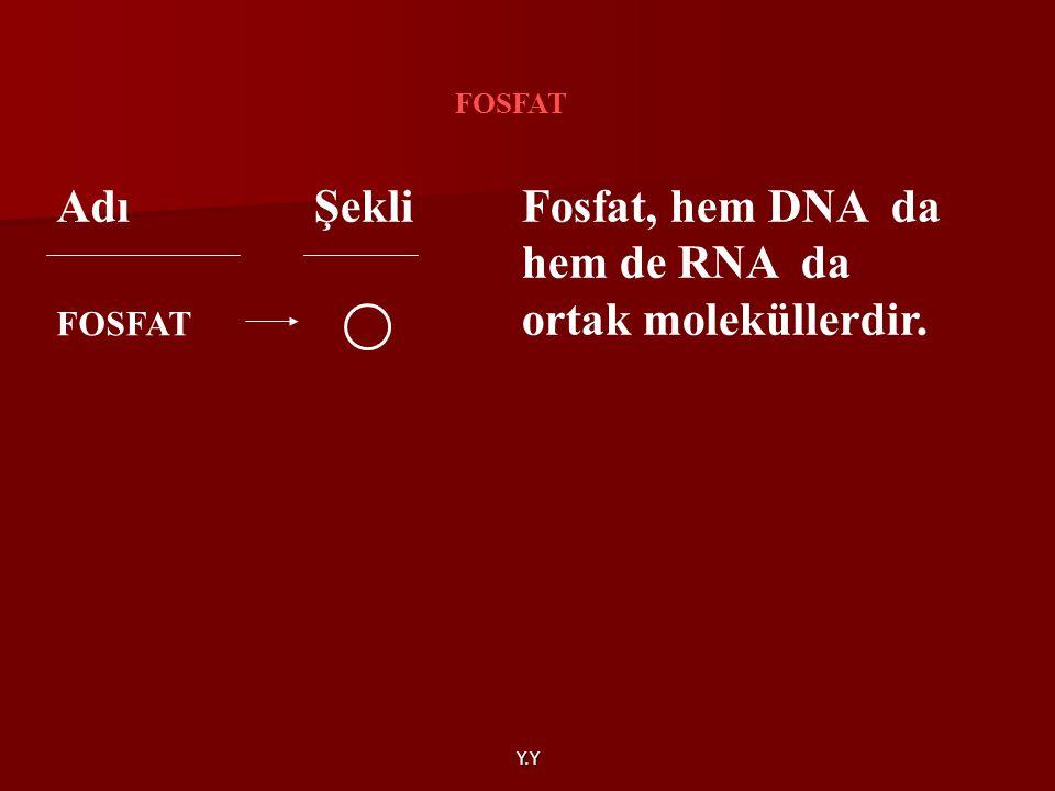 Y.Y AdıŞekli FOSFAT Fosfat, hem DNA da hem de RNA da ortak moleküllerdir.