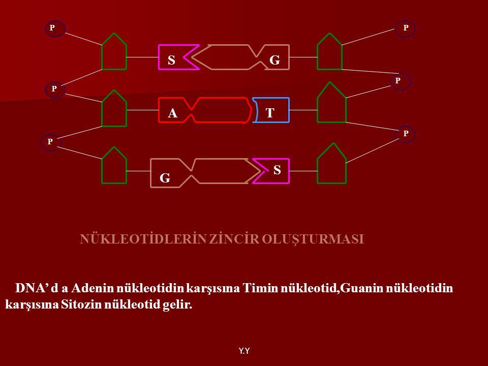 Y.Y DNA' d a Adenin nükleotidin karşısına Timin nükleotid,Guanin nükleotidin karşısına Sitozin nükleotid gelir. GS AT S G P P P P P P NÜKLEOTİDLERİN Z