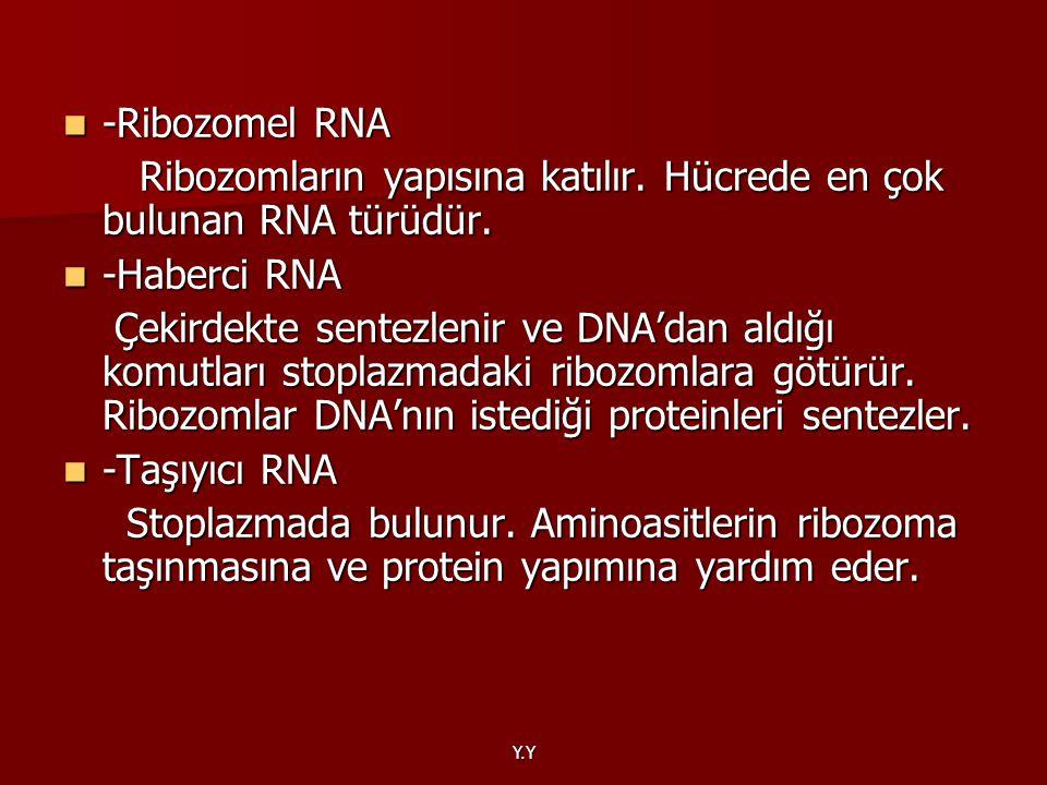 Y.Y -Ribozomel RNA -Ribozomel RNA Ribozomların yapısına katılır. Hücrede en çok bulunan RNA türüdür. Ribozomların yapısına katılır. Hücrede en çok bul