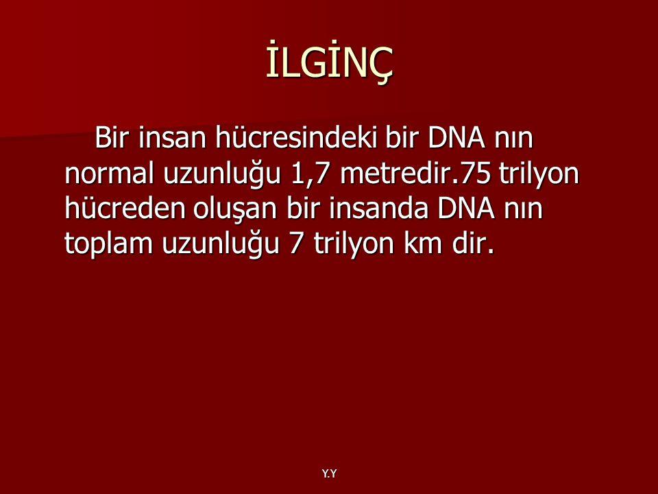 Y.Y İLGİNÇ Bir insan hücresindeki bir DNA nın normal uzunluğu 1,7 metredir.75 trilyon hücreden oluşan bir insanda DNA nın toplam uzunluğu 7 trilyon km