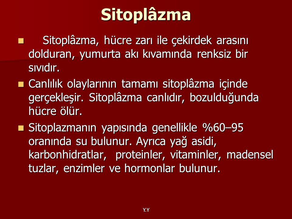 Y.Y Sitoplâzma Sitoplâzma, hücre zarı ile çekirdek arasını dolduran, yumurta akı kıvamında renksiz bir sıvıdır. Sitoplâzma, hücre zarı ile çekirdek ar