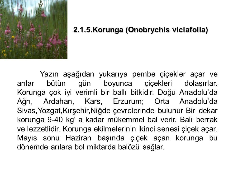 2.1.5.Korunga (Onobrychis viciafolia) Yazın aşağıdan yukarıya pembe çiçekler açar ve arılar bütün gün boyunca çiçekleri dolaşırlar.