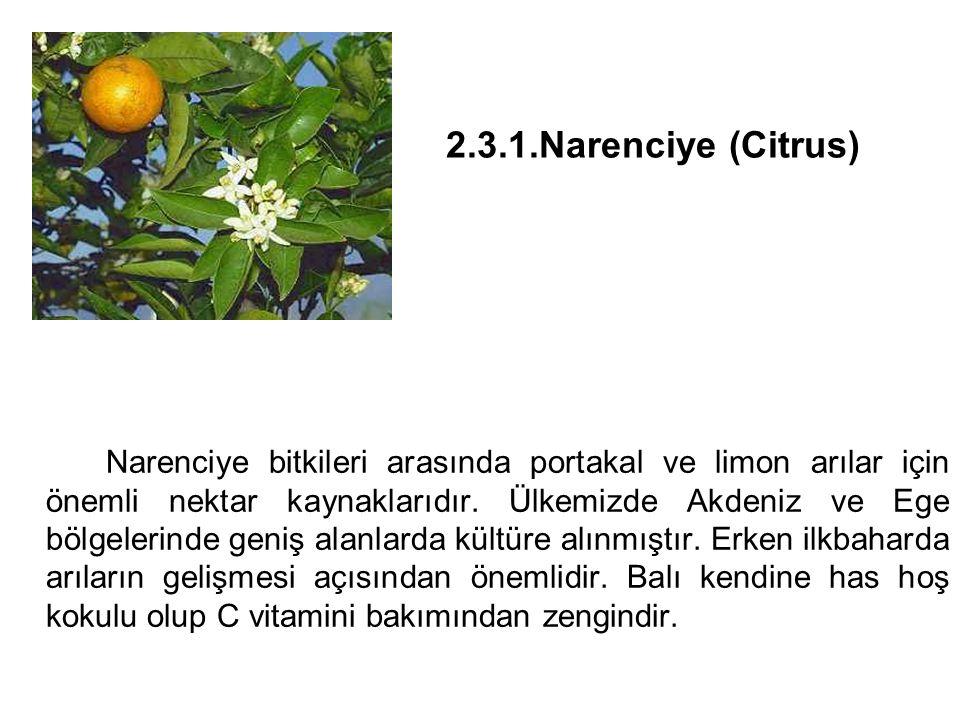 2.3.1.Narenciye (Citrus) Narenciye bitkileri arasında portakal ve limon arılar için önemli nektar kaynaklarıdır.