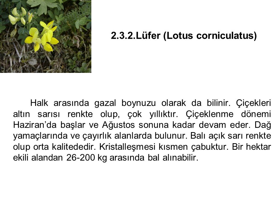 2.3.2.Lüfer (Lotus corniculatus) Halk arasında gazal boynuzu olarak da bilinir.