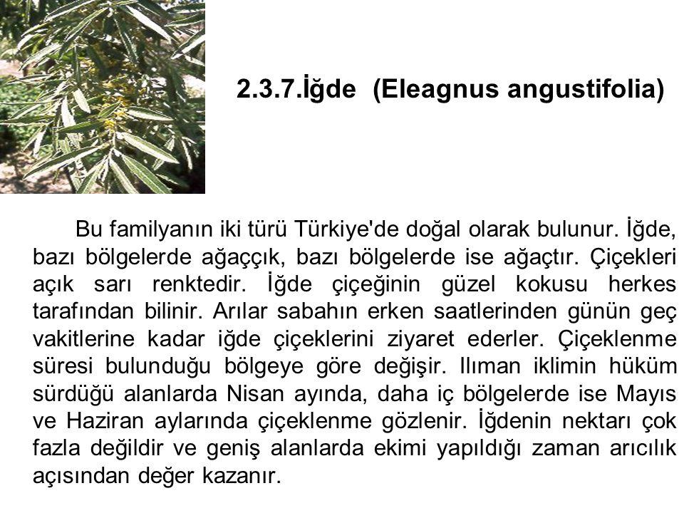 2.3.7.İğde (Eleagnus angustifolia) Bu familyanın iki türü Türkiye de doğal olarak bulunur.