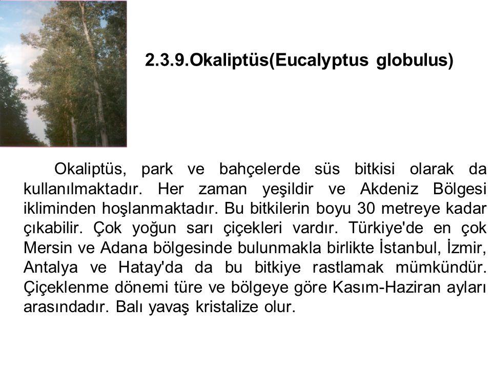 2.3.9.Okaliptüs(Eucalyptus globulus) Okaliptüs, park ve bahçelerde süs bitkisi olarak da kullanılmaktadır.