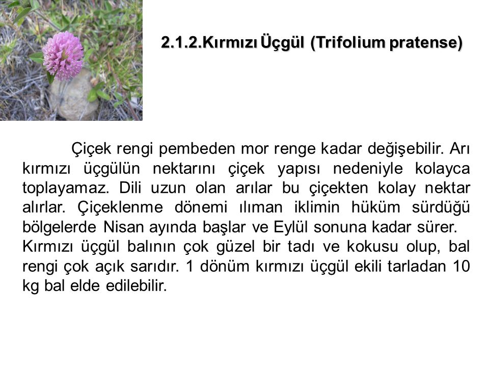 2.1.3.Ayçiçeği (Helianthus annus) Ülkemizde geniş alanlarda ekimi yapılan tarım bitkisidir.