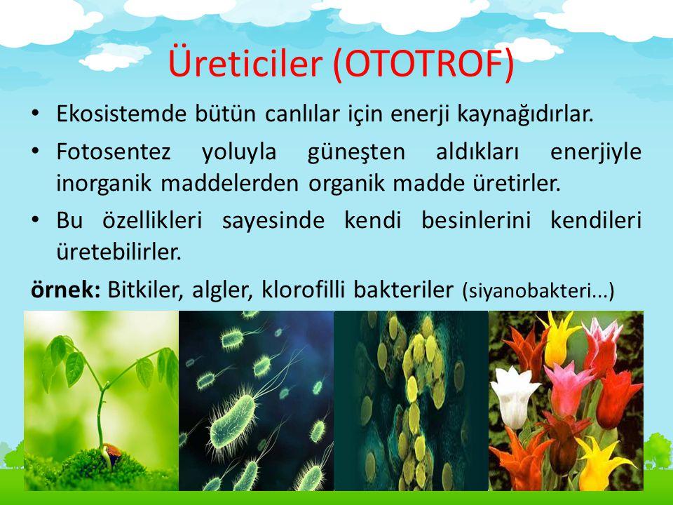 Üreticiler (OTOTROF) Ekosistemde bütün canlılar için enerji kaynağıdırlar. Fotosentez yoluyla güneşten aldıkları enerjiyle inorganik maddelerden organ