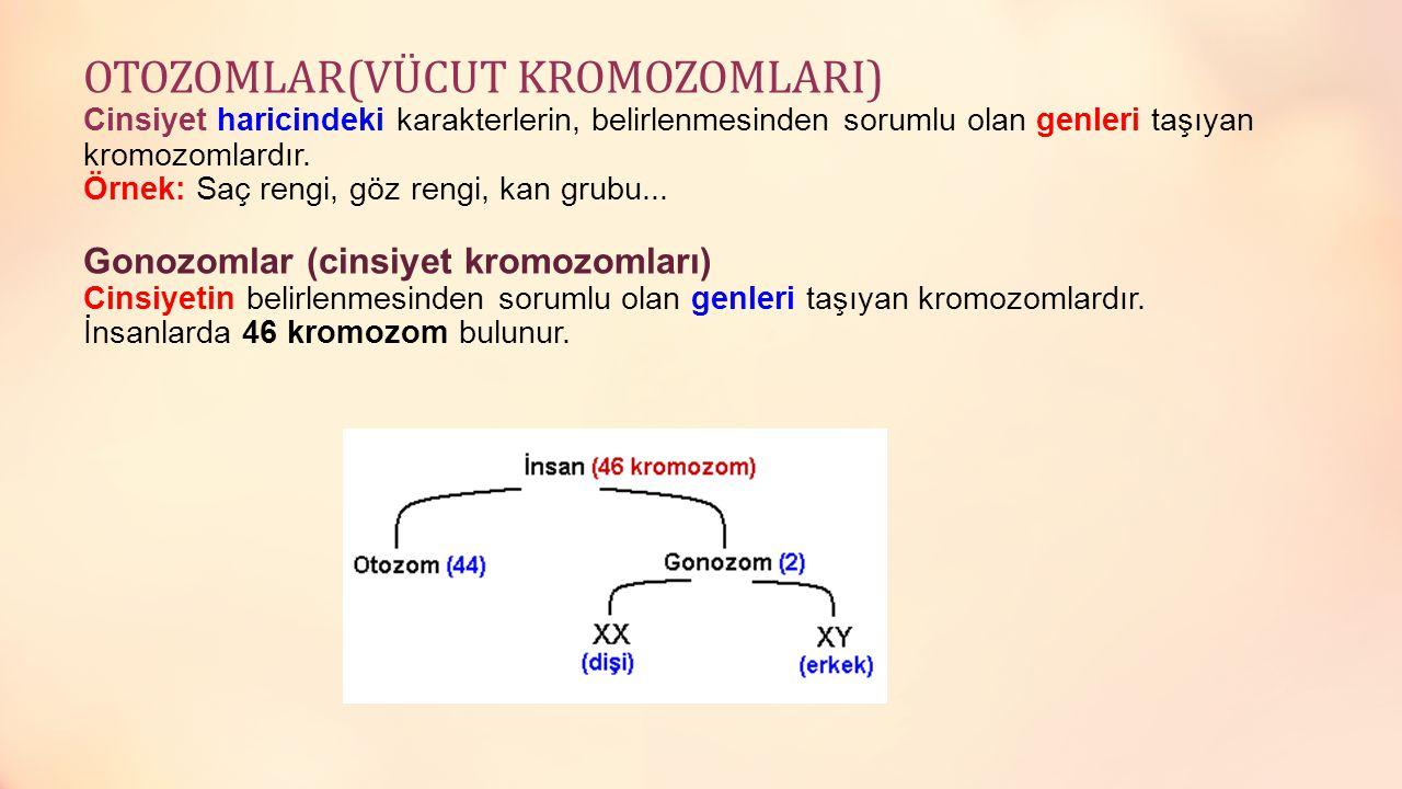 OTOZOMLAR(VÜCUT KROMOZOMLARI) Cinsiyet haricindeki karakterlerin, belirlenmesinden sorumlu olan genleri taşıyan kromozomlardır. Örnek: Saç rengi, göz