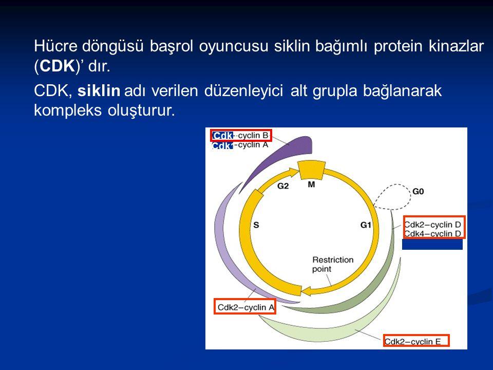 Cdk1 Hücre döngüsü başrol oyuncusu siklin bağımlı protein kinazlar (CDK)' dır. CDK, siklin adı verilen düzenleyici alt grupla bağlanarak kompleks oluş