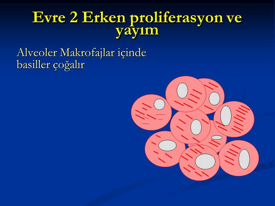 Evre 2 Erken proliferasyon ve yayım Alveoler Makrofajlar içinde basiller çoğalır