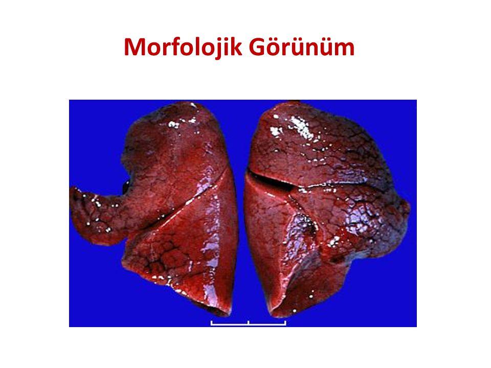 Morfolojik Görünüm