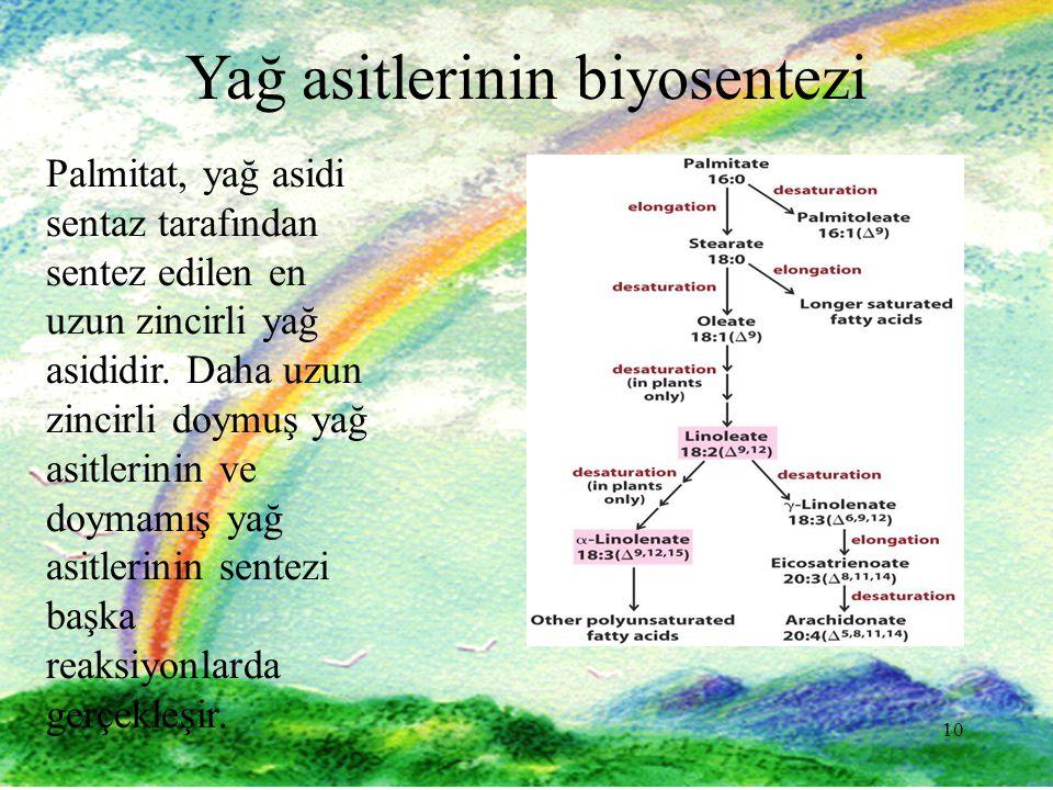 10 Yağ asitlerinin biyosentezi Palmitat, yağ asidi sentaz tarafından sentez edilen en uzun zincirli yağ asididir.