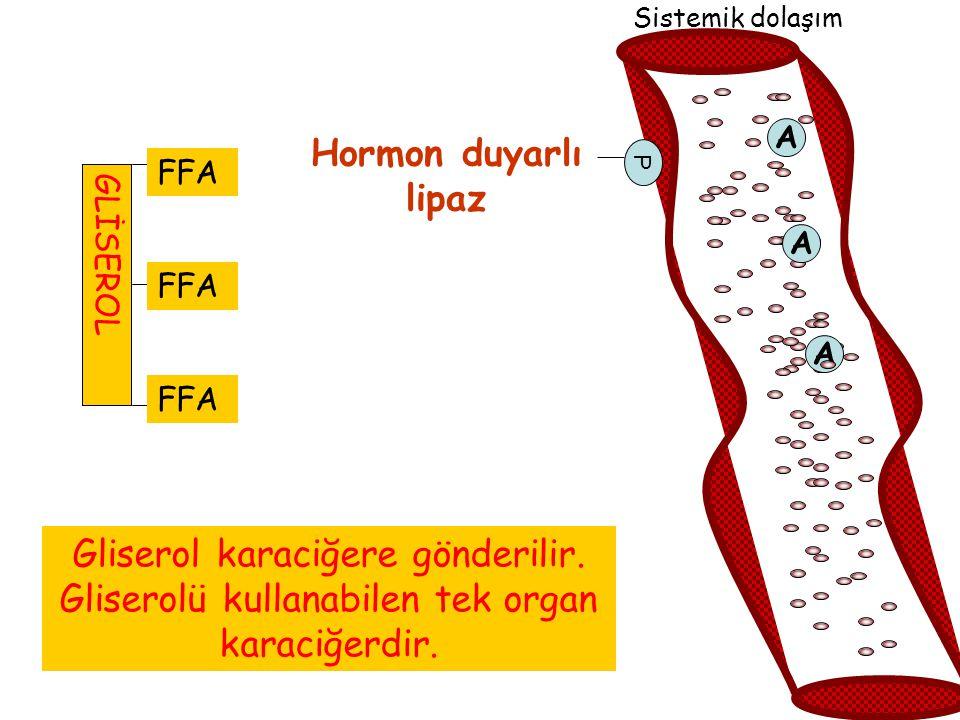 FA Sistemik dolaşım A Hormon duyarlı lipaz P FFA A A Gliserol karaciğere gönderilir. Gliserolü kullanabilen tek organ karaciğerdir. GLİSEROL