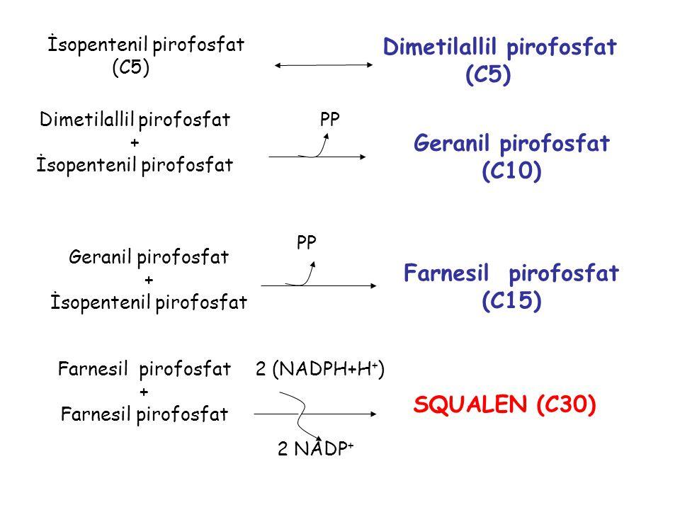 İsopentenil pirofosfat (C5) Dimetilallil pirofosfat + İsopentenil pirofosfat Geranil pirofosfat (C10) Geranil pirofosfat + İsopentenil pirofosfat Farnesil pirofosfat (C15) Farnesil pirofosfat + Farnesil pirofosfat SQUALEN (C30) 2 (NADPH+H + ) 2 NADP + PP Dimetilallil pirofosfat (C5)