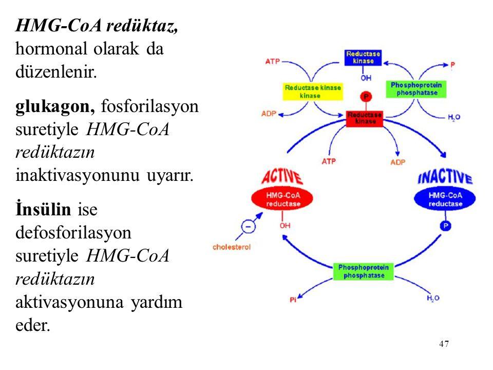 47 HMG-CoA redüktaz, hormonal olarak da düzenlenir. glukagon, fosforilasyon suretiyle HMG-CoA redüktazın inaktivasyonunu uyarır. İnsülin ise defosfori