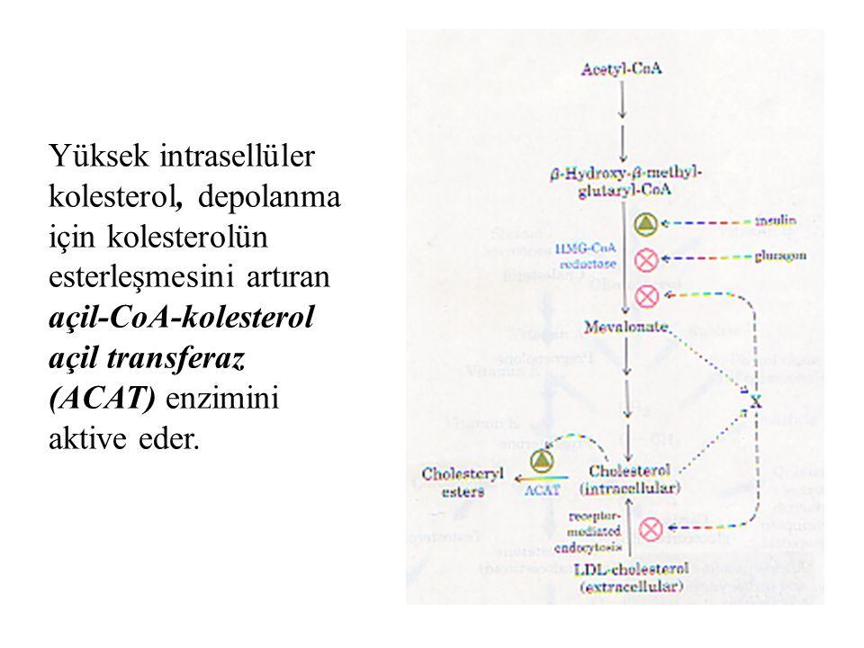48 Yüksek intrasellüler kolesterol, depolanma için kolesterolün esterleşmesini artıran açil-CoA-kolesterol açil transferaz (ACAT) enzimini aktive eder