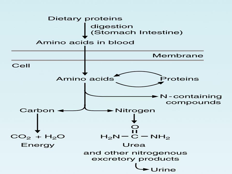 Çeşitli kalıtsal hastalıklar, A.A metabolizmasındaki bozukluklardan oluşur.Çeşitli kalıtsal hastalıklar, A.A metabolizmasındaki bozukluklardan oluşur.