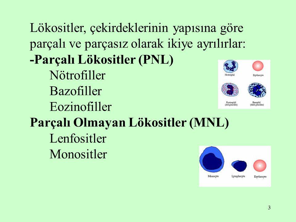 3 Lökositler, çekirdeklerinin yapısına göre parçalı ve parçasız olarak ikiye ayrılırlar: -Parçalı Lökositler (PNL) Nötrofiller Bazofiller Eozinofiller