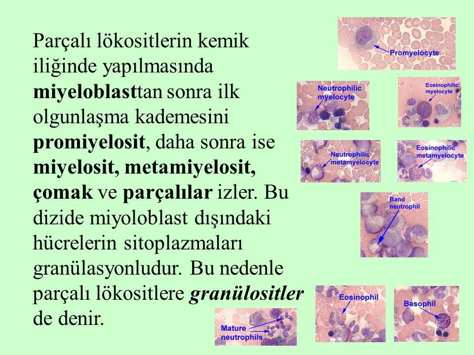 6 Parçalı lökositlerin kemik iliğinde yapılmasında miyeloblasttan sonra ilk olgunlaşma kademesini promiyelosit, daha sonra ise miyelosit, metamiyelosi