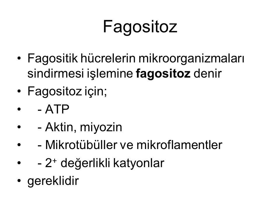 Fagositoz Fagositik hücrelerin mikroorganizmaları sindirmesi işlemine fagositoz denir Fagositoz için; - ATP - Aktin, miyozin - Mikrotübüller ve mikroflamentler - 2 + değerlikli katyonlar gereklidir