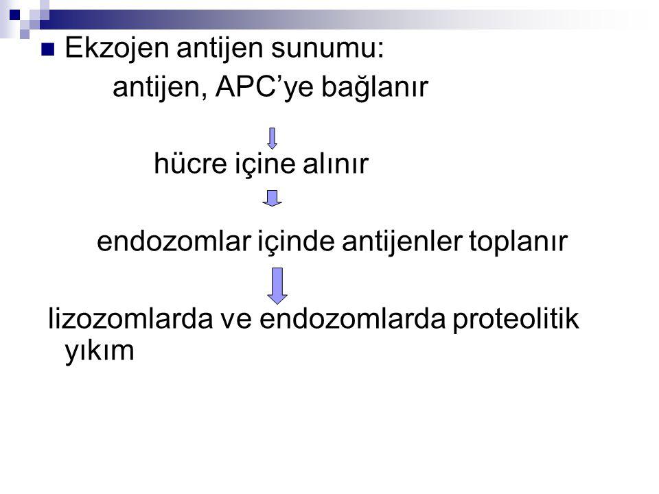 Ekzojen antijen sunumu: antijen, APC'ye bağlanır hücre içine alınır endozomlar içinde antijenler toplanır lizozomlarda ve endozomlarda proteolitik yık