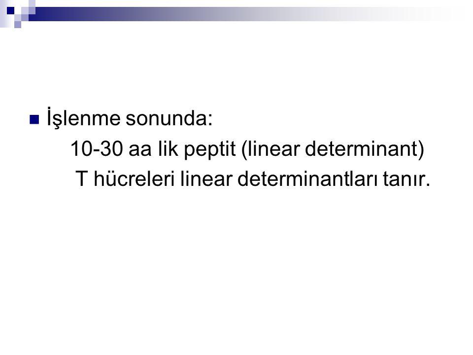 İşlenme sonunda: 10-30 aa lik peptit (linear determinant) T hücreleri linear determinantları tanır.
