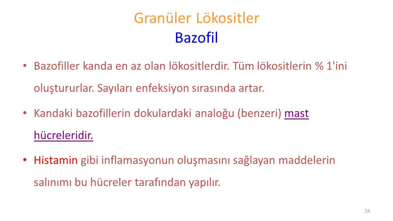 Granüler Lökositler Bazofil Bazofiller kanda en az olan lökositlerdir. Tüm lökositlerin % 1'ini oluştururlar. Sayıları enfeksiyon sırasında artar. Kan